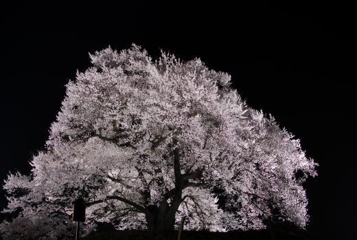 わに塚のサクラ ライトアップ 富士の国やまなし観光ネット 山梨県公式